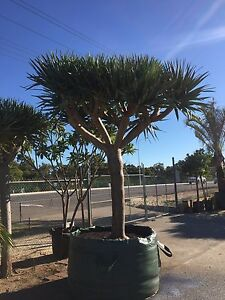 Large Dragon Tree Iluka Joondalup Area Preview