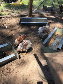 Chickens for sale! Wyandotte mix