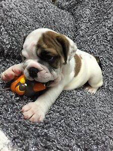 British Bulldog Puppies Adelaide CBD Adelaide City Preview