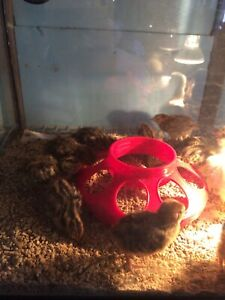 Courtnix Quail Chicks