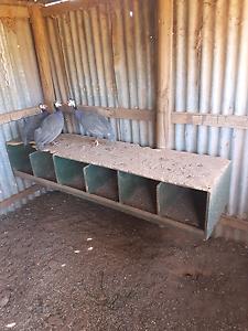 Guinea  fowl Urana Urana Area Preview