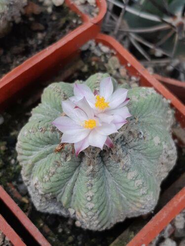 aztekium ritteri 100 seeds fresh seeds very rare.