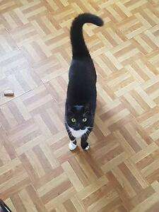 Free Adult cat to good home Mount Gravatt Brisbane South East Preview