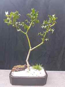 Bonsai.  Holly Cremorne North Sydney Area Preview