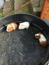 Lovely and cute Guinea pigs, 2 female and 1 male West Ryde Ryde Area Preview