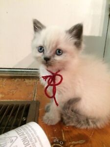 Sweet Himalayan kittens available for Christmas
