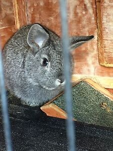 Baby rabbits Fawkner Moreland Area Preview