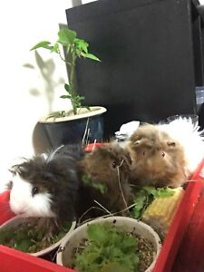 Guinea pigs, sold seperatly Sunnybank Hills Brisbane South West Preview