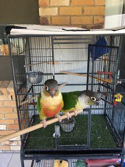Green cheek conures x 2 birds & cage
