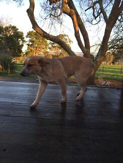 Red heeler dog Birregurra Colac-Otway Area Preview