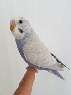 EXCEPTIONALLY FRIENDLY TAME BABY BUDGIES/CAGES $15 PERFECT PETS