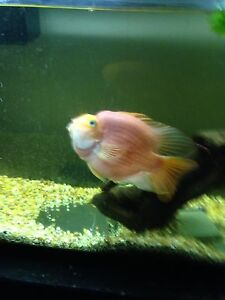 5 year old blood parrot for sale, 55 gallon tank and accessories