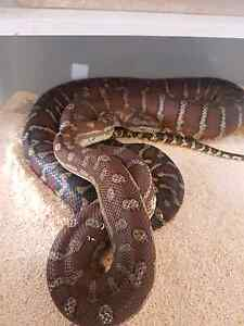 Reptile sale Blakeview Playford Area Preview