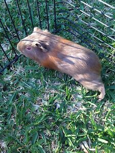 Guinea pig babies Lisarow Gosford Area Preview
