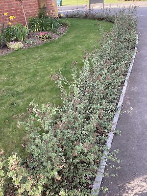 HEDGING PLANTS - Potentilla
