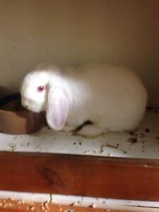 Female REW mini lop St Andrews Campbelltown Area Preview