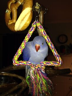 Ringneck Parrot with cage for sale