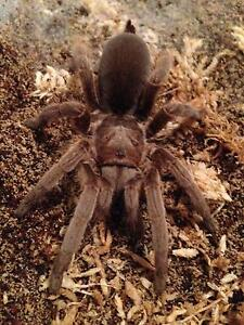 Tarantulas, Scorpions and other invertebrates Brisbane City Brisbane North West Preview