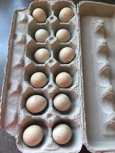 Fertilized Chucker Partridge Eggs