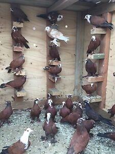 Iraqi Pigeons 10$ each Fairfield Fairfield Area Preview