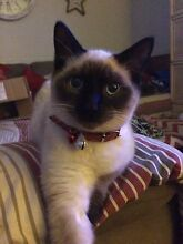 Tonkinese with 6/8 Ragdoll. (SOOO SOFT AND CUDDLEY) Heddon Greta Cessnock Area Preview