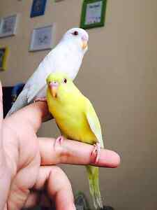 Gorgeous Little Hand Tame Baby Budgie Lidcombe Auburn Area Preview
