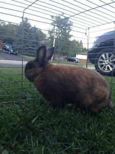 Looking for a male or female rabbit