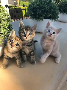 Kittens for sale Connells Point Kogarah Area Preview