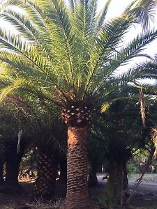 Canary Island Date Palm Trees Benowa Gold Coast City Preview