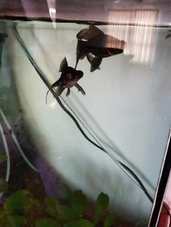 2 black mores