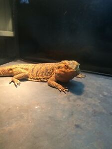 WTB/Looking for an adult female bearded dragon