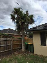 ***FREE*** Cordyline (large) Mooroolbark Yarra Ranges Preview