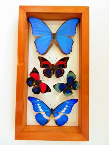 """5 REAL BUTTERFLIES FRAMED SPECIAL COLLECTION MOUNTED DOUBLE GLASS 7.5""""X14.0"""