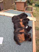 Guinea pigs for sale  Beldon Joondalup Area Preview