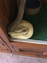 Darwin albino pythons Willaston Gawler Area Preview