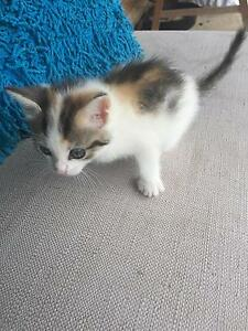 1 Female & 1 male Ragdoll Cross kittens Quakers Hill Blacktown Area Preview