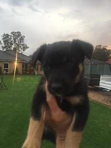 Kelpie Pups for Sale Bargo Wollondilly Area Preview