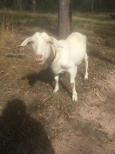 For Sale 2 desexed male goats Dundowran Fraser Coast Preview
