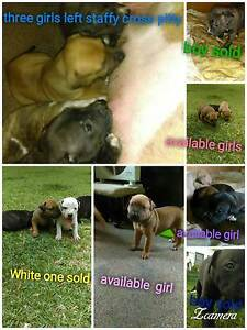 Staffy cross Red nose Bidwill Blacktown Area Preview