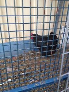 Chicken for sale Villawood Bankstown Area Preview