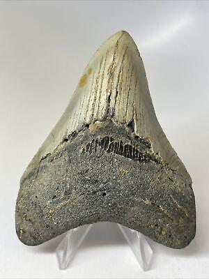 "Megalodon Shark Tooth 4.00"" Beautiful - Natural Fossil - Matrix 9894"