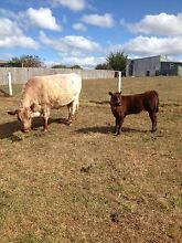 Cow and calf for sale Stowport Burnie Area Preview