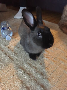 female bunny for sale