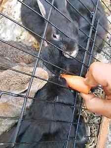 Netherland dwarf bunnies Mulgrave Monash Area Preview