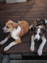 Bull Arab x Koolie puppies, desexed microchipped vaccinated Frankston Frankston Area Preview