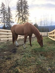 8 year old Quarterhorse