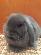 Assorted true to type rabbits Goonellabah Lismore Area Preview