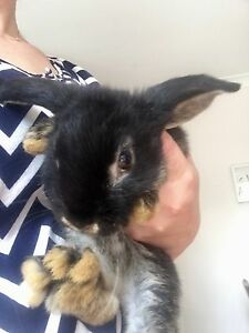 Dwarf lop 10 week old female rabbit with two storey hutch/food Glenbrook Blue Mountains Preview