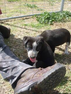 Smithfield Pups For Sale Ashford Inverell Area Preview