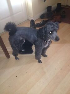 Poodle forsale
